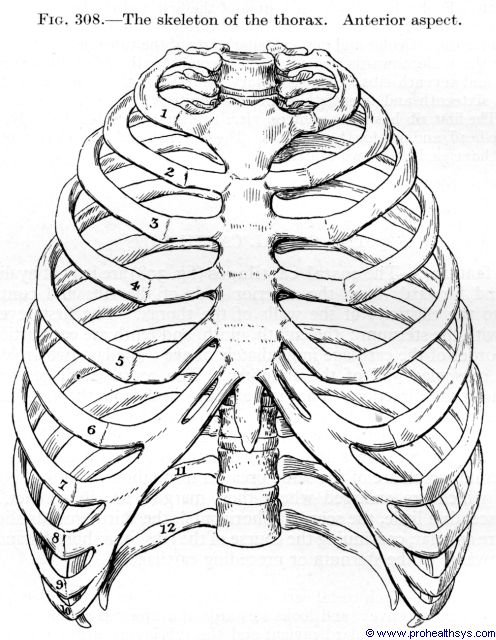 Rib Cage Drawing At Getdrawings Free For Personal Use Rib Cage