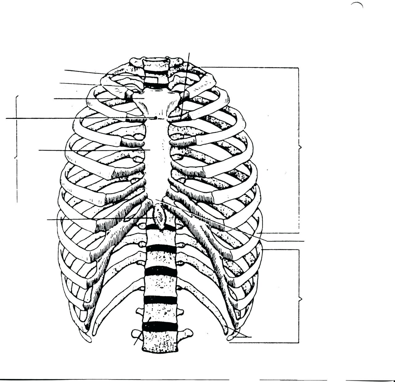 1280x1237 Diagram Rib Cage Diagram Labeled Human Anatomy Anterior And Right