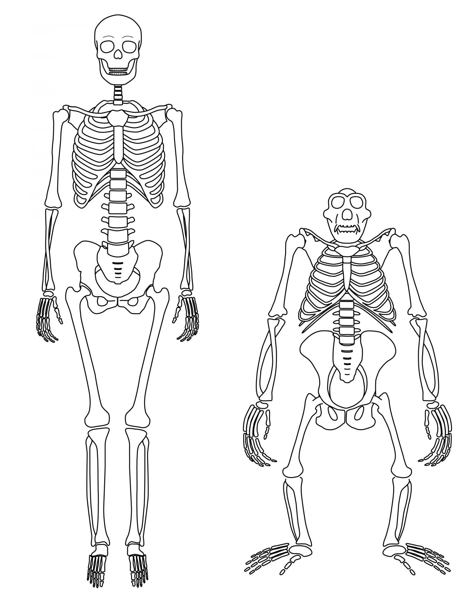 1500x1927 Shed Light On Origins Of Human Walking