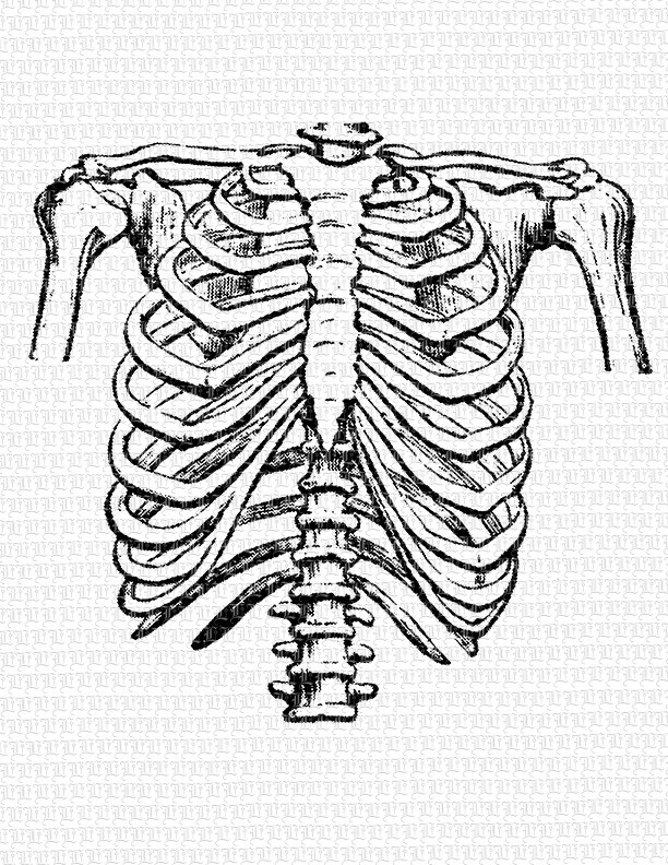 612x792 Human Rib Cage Frontal Position Vintage Clip Art Illustration
