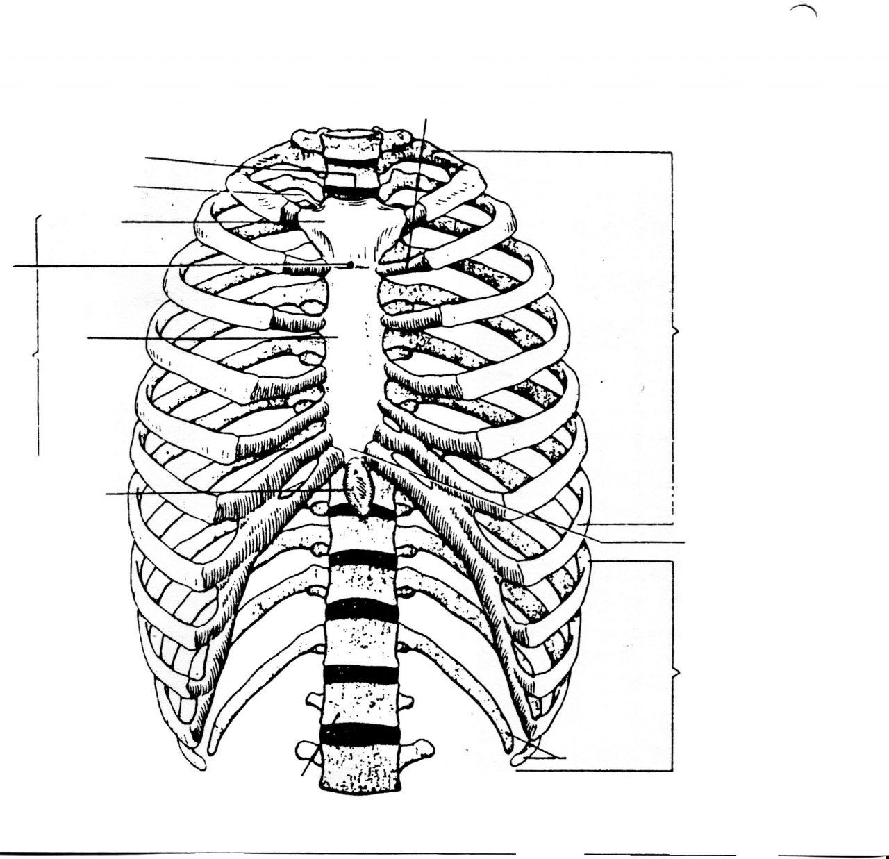 1280x1237 Rib Cage Diagram Labeled
