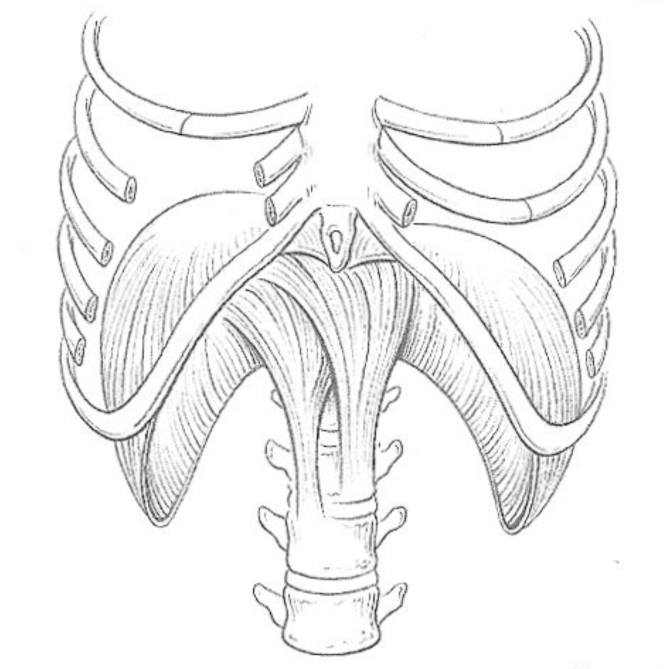 ribcage drawing at getdrawings com