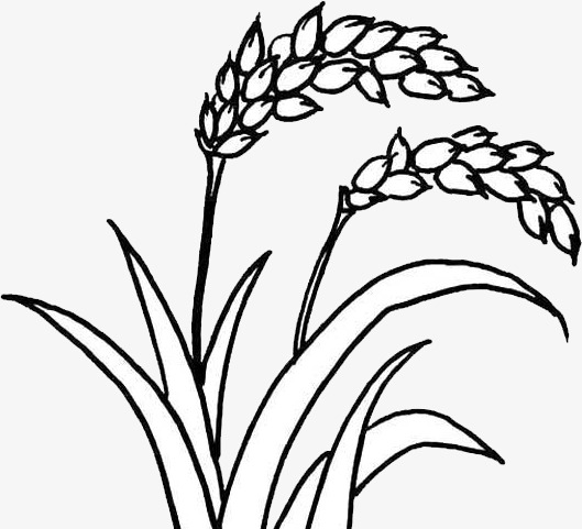 Rice Plant Drawing At Getdrawingscom Free For Personal Use Rice