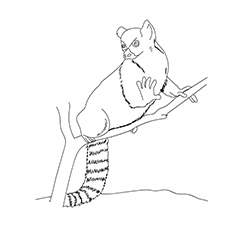 Ring Tailed Lemur Drawing