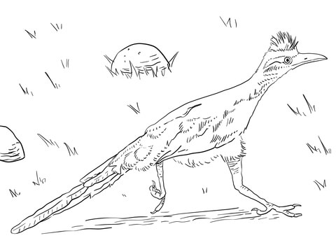 480x360 Greater Roadrunner Coloring Page Free Printable Coloring Pages