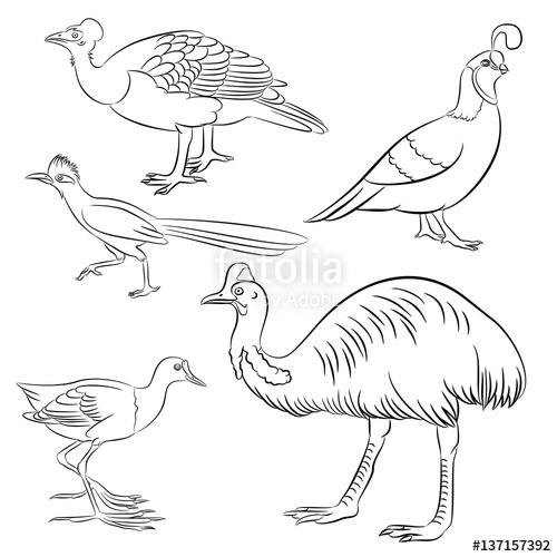500x500 Cassowary, Roadrunner, Jacana, Quail, Maleo Bird Simple Line