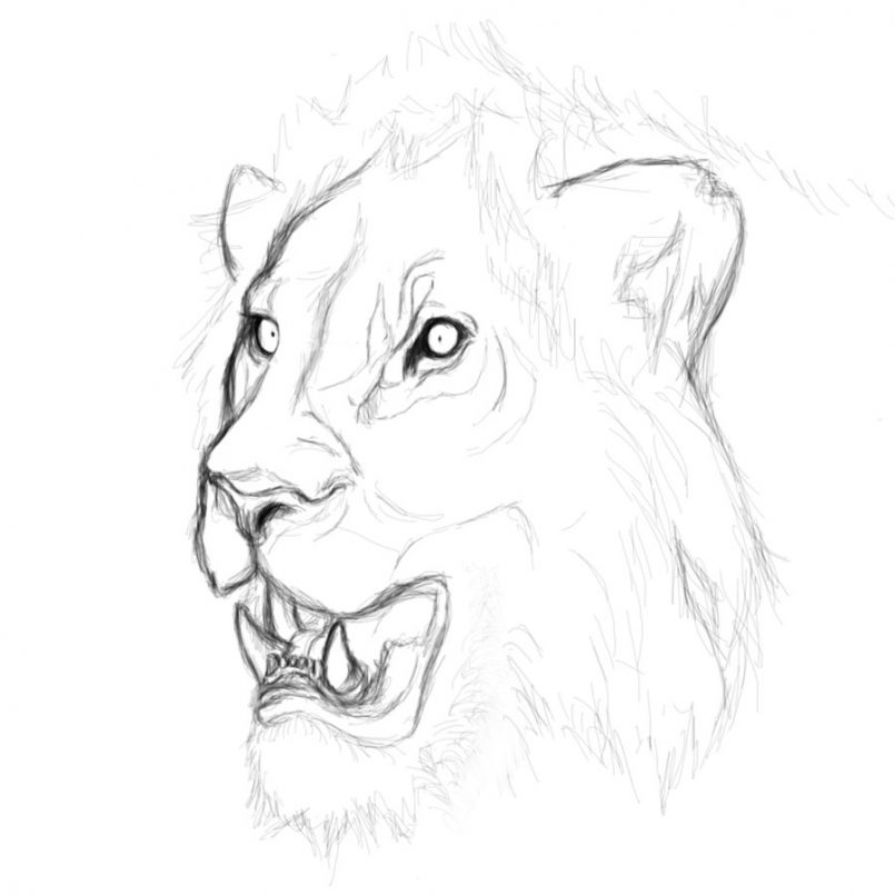 805x805 How To Draw Lion Face Roaring Step By Step Tags How To Draw