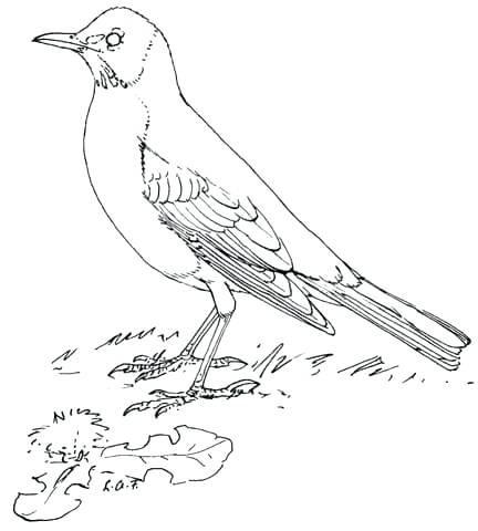 432x480 Robin Coloring Pictures Bird Coloring Pages Plus Drawing Robin