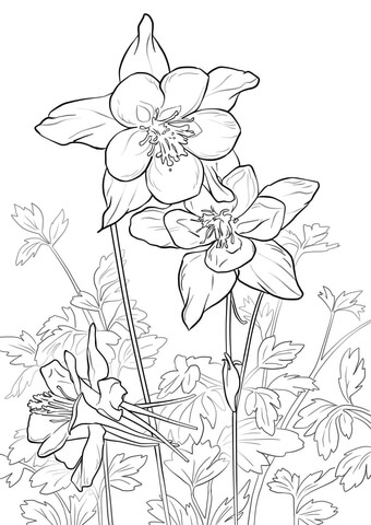 340x480 Rocky Mountain Columbine Coloring Page Free Printable Coloring