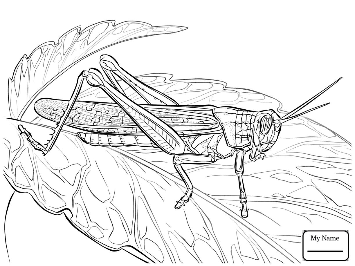 1223x917 Coloring Pages Insects Locust Rocky Mountain Locust
