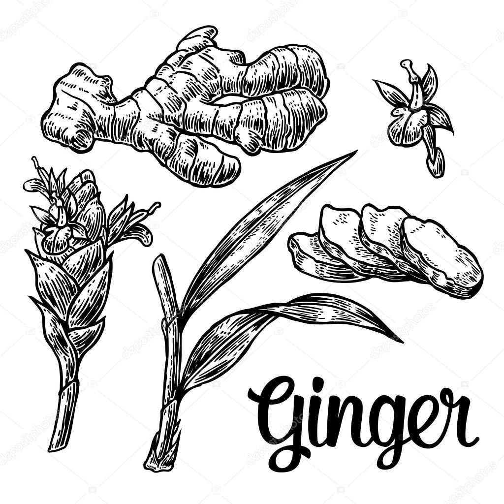1024x1024 Ginger. Root, Root Cutting, Leaves, Flower Buds, Stems. Vintage