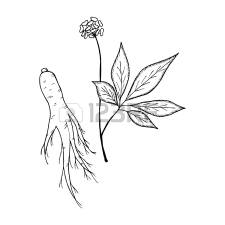 450x450 Root And Leaves Panax Ginseng, Sketch Style. Hand Draw Vintage