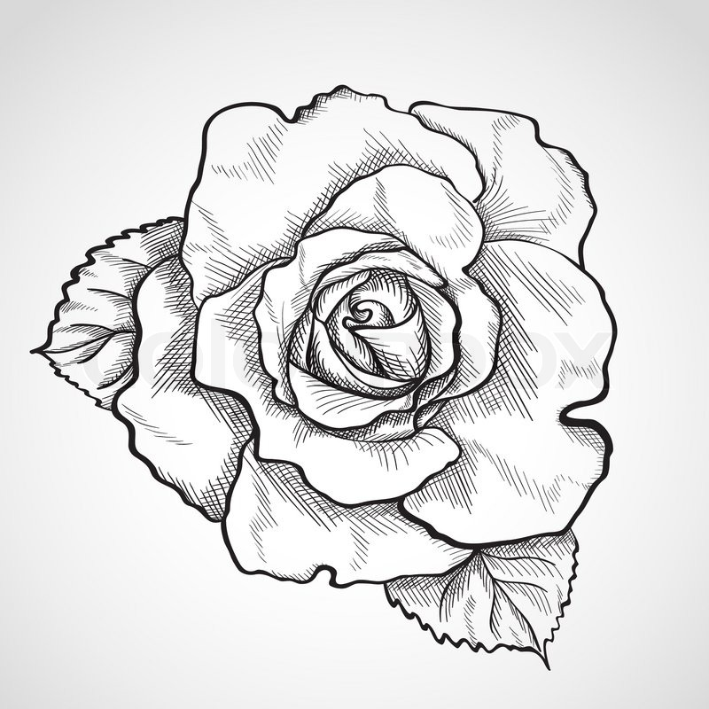 800x800 Sketch Rose Branch, Hand Drawn, Ink Style Stock Vector Colourbox