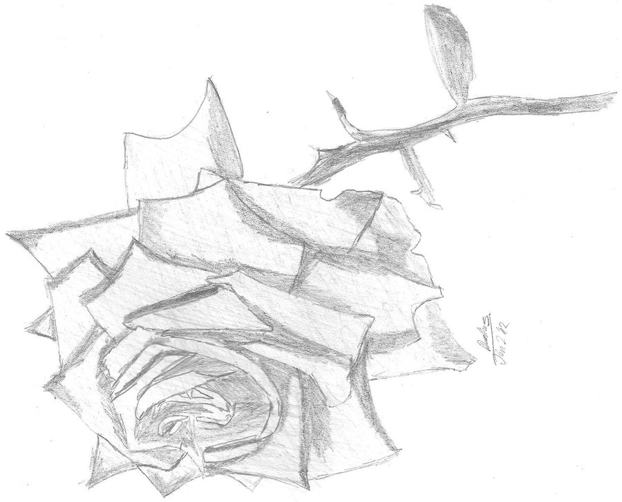 900x726 Rose Drawing By Nobody