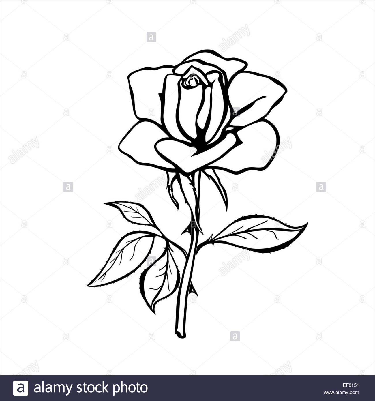 1300x1390 Rose Sketch. Black Outline On White Background. Eps 8 Stock