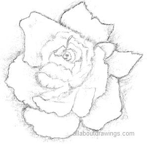 Rose Black And White Drawing