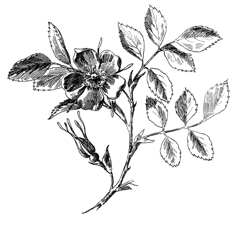 Rose Botanical Drawing