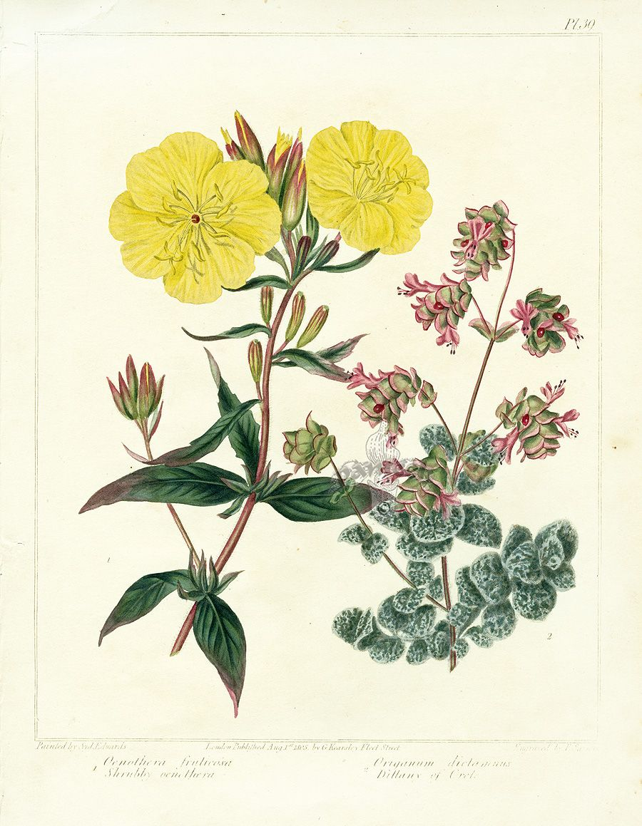 900x1159 Botanical Drawings Edwards Botanical Prints From Dickson'S