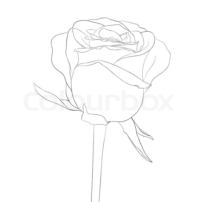 800x800 Beautiful Monochrome, Black And White Rose Bud With Stem. Flower