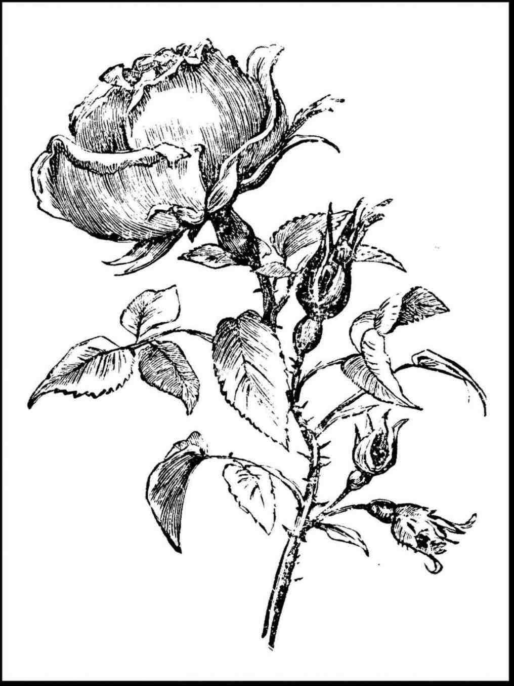 1016x1354 All Ua Copayonline New Ua Rose Bush Drawing Easy Copayonline New