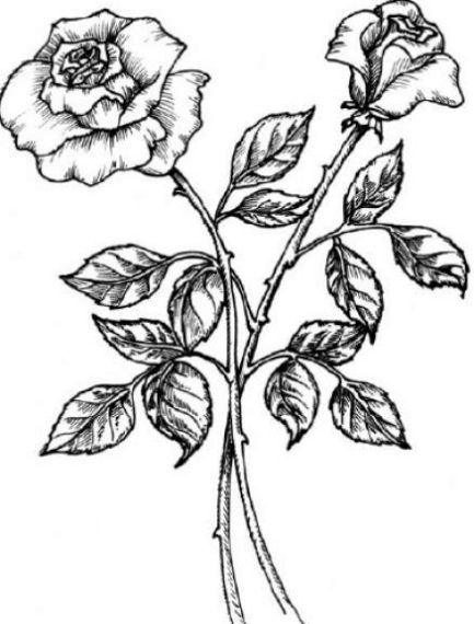 433x570 Easy Rose Drawings In Black And White Clipart