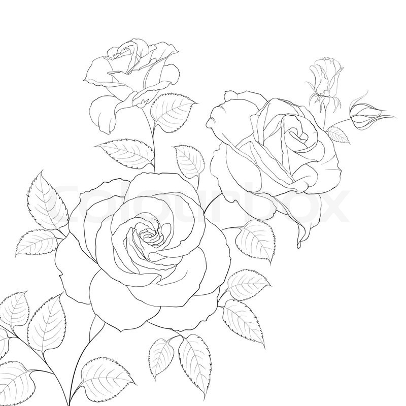 800x800 White Rose Isolated On White Background. Vector Illustration