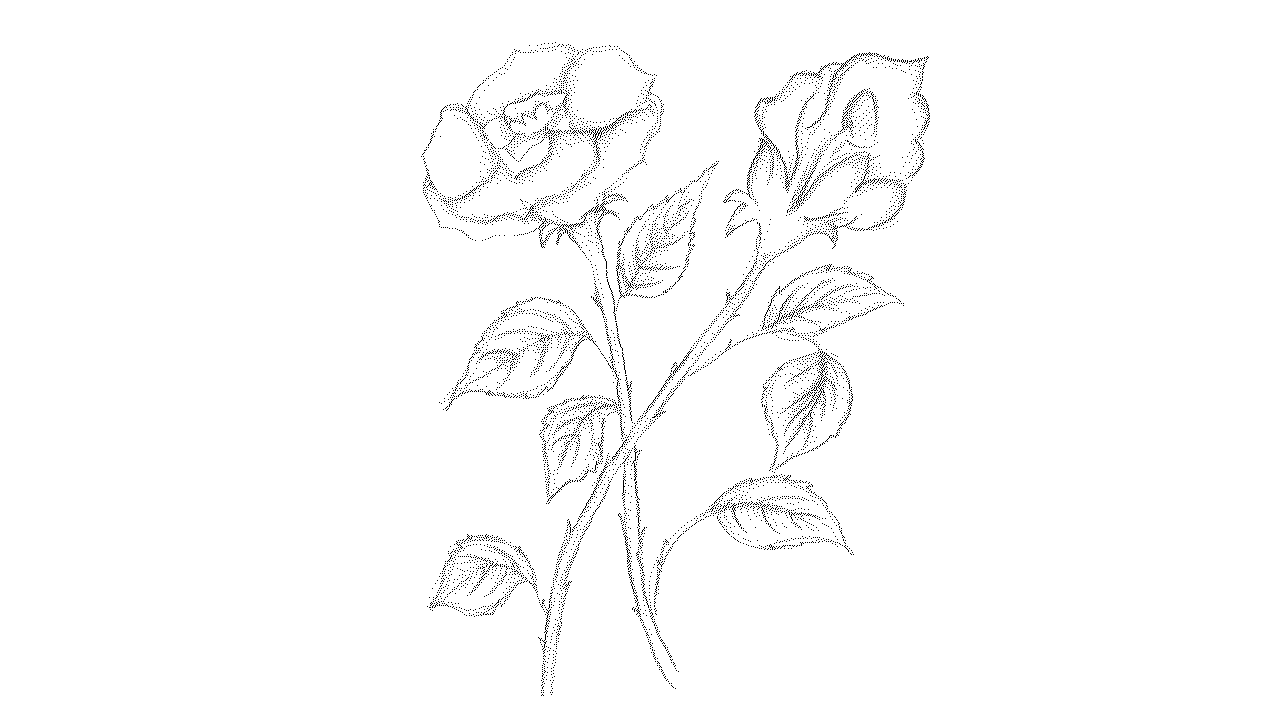 1280x720 How To Draw Roses Step By Step