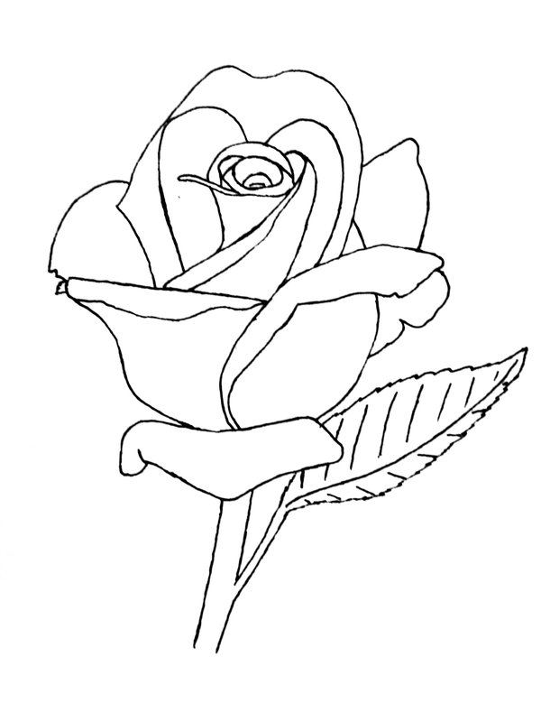 600x800 Drawn Rose Line Art