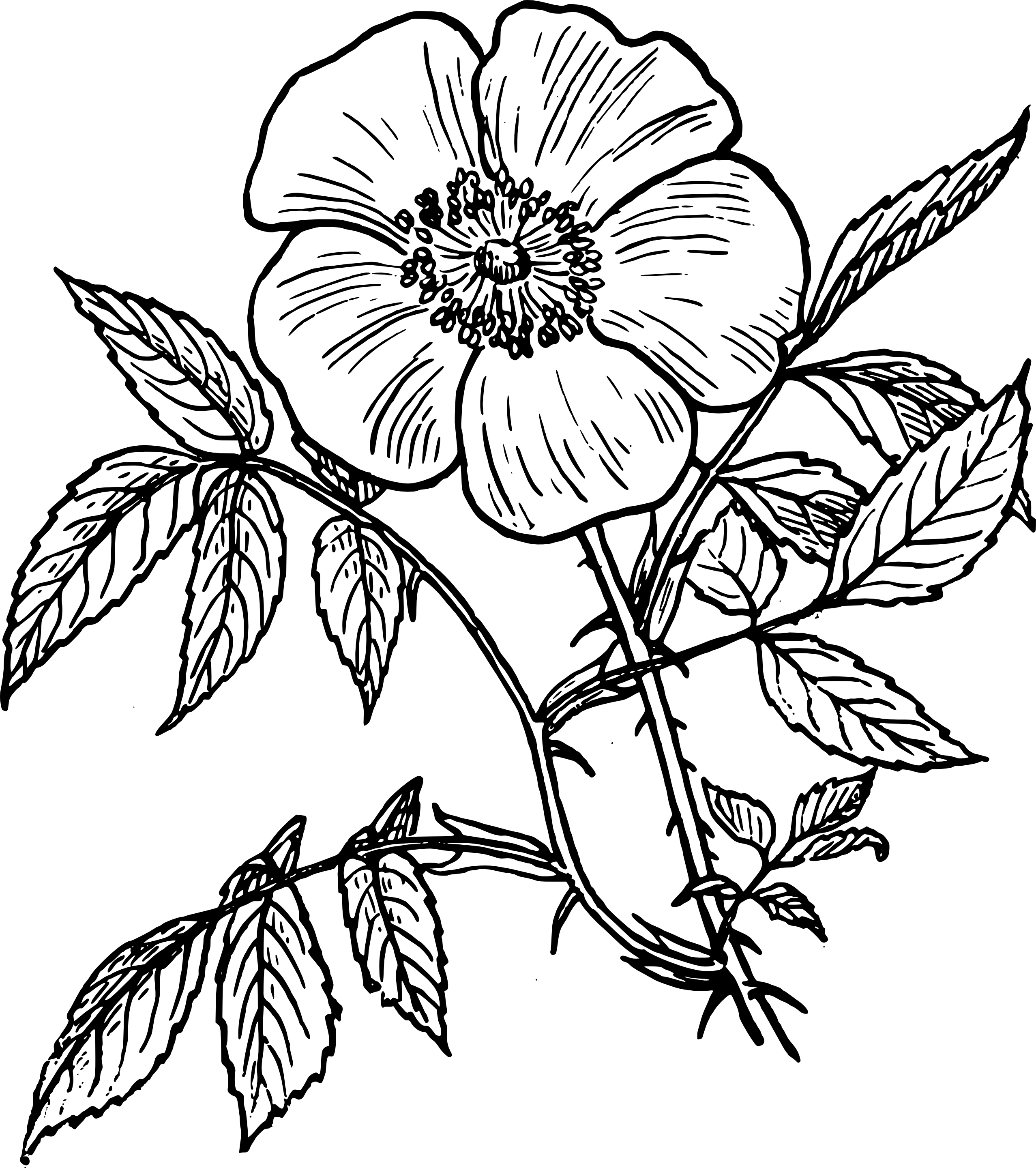 2555x2880 Rose Flower Drawing Images Line Drawing Rose Line Drawing Rose