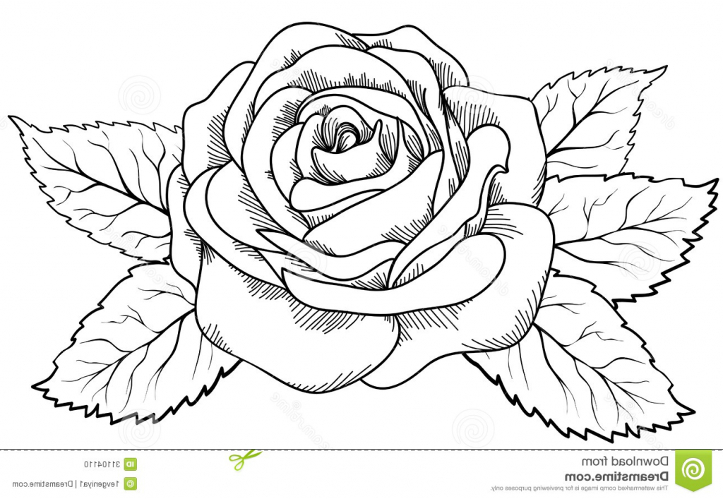 1024x707 Rose Flower Drawing Photo