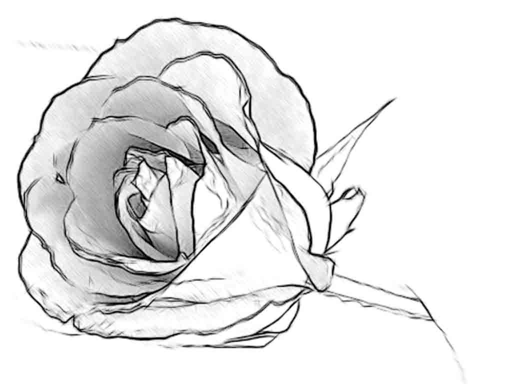 Rose Flower Pencil Drawing