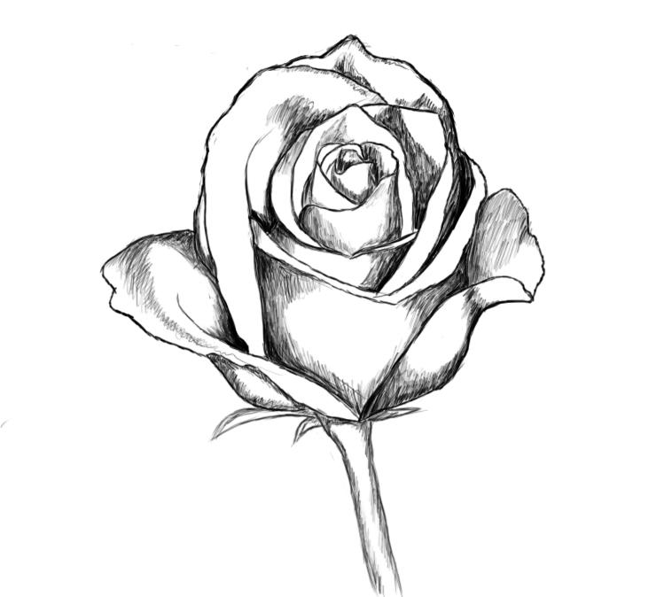 758x674 Sketch Clipart Beautiful Rose Flower