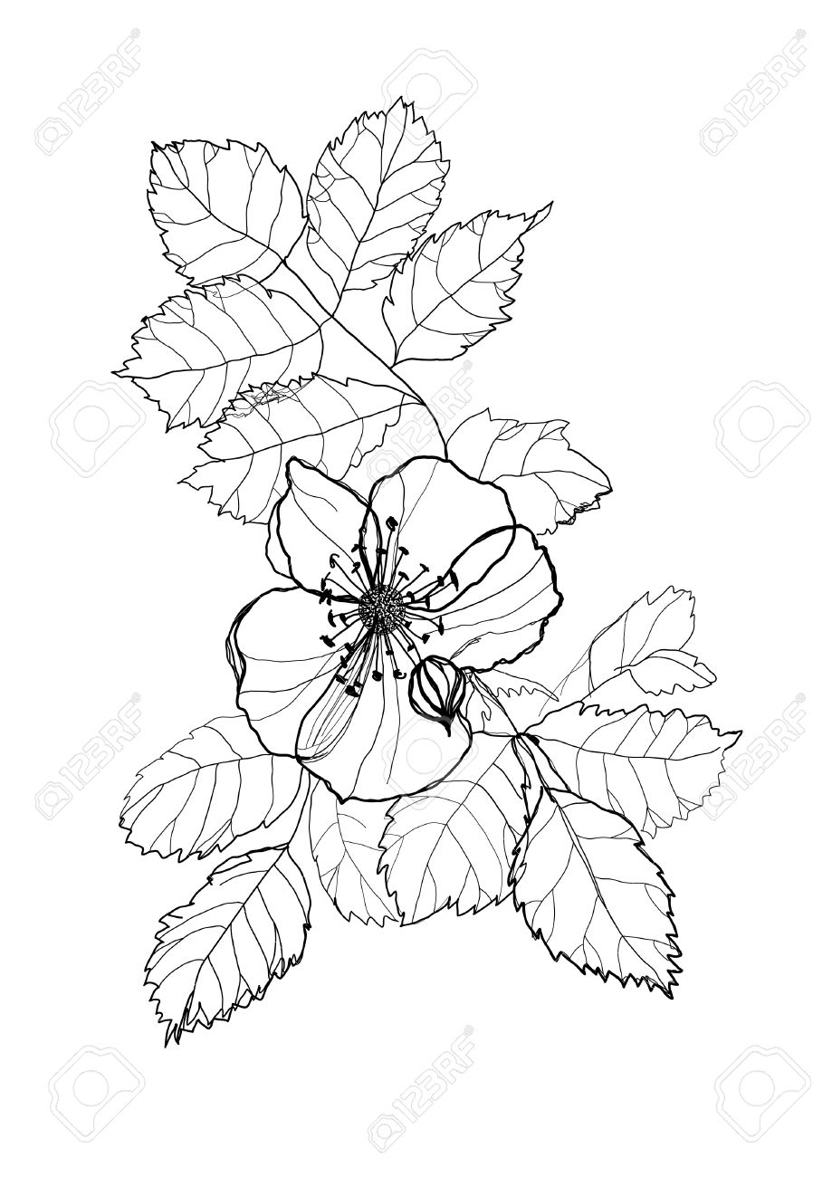 919x1300 Dog Rose Flower Pencil Drawing On White Background Royalty Free