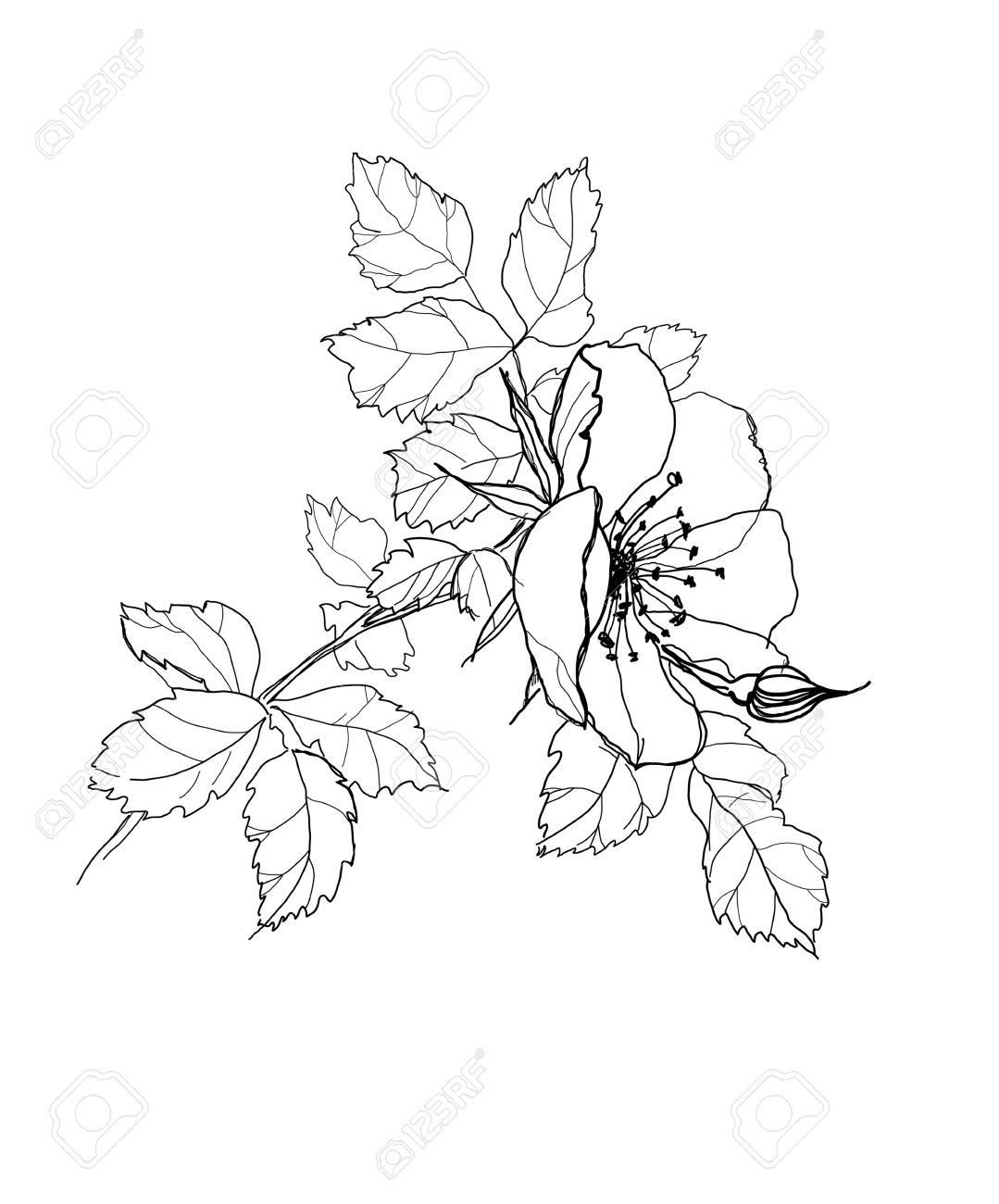 1079x1300 Dog Rose Flower Pencil Drawing Royalty Free Cliparts, Vectors,