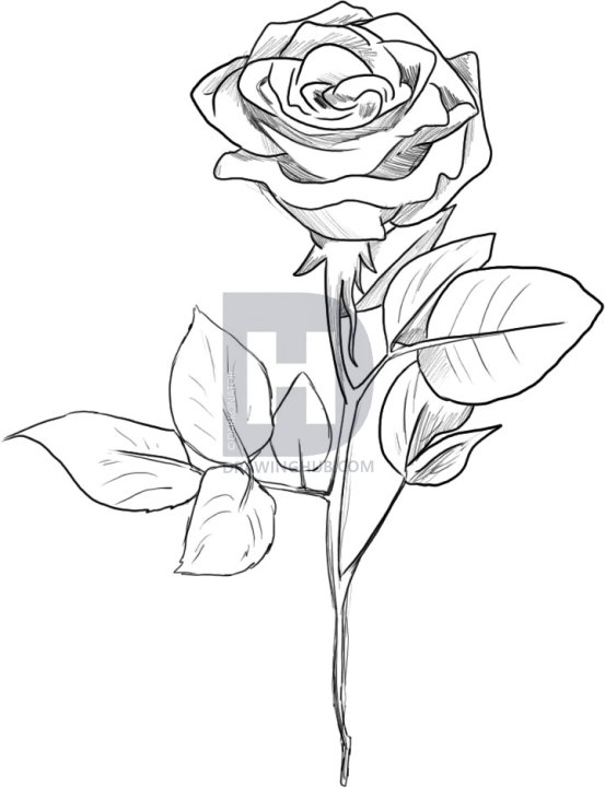 553x720 Pictures Black Rose Flower Drawing,