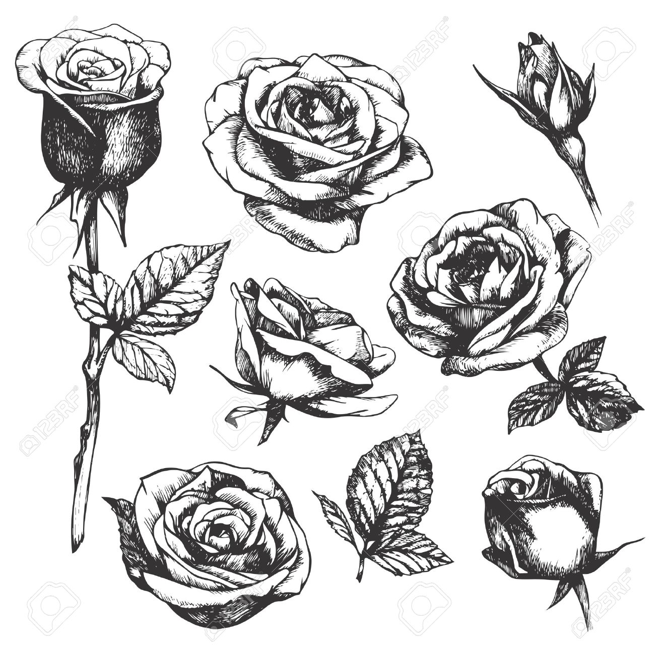 1300x1300 Set Of Highly Detailed Hand Drawn Roses. Vector Royalty Free