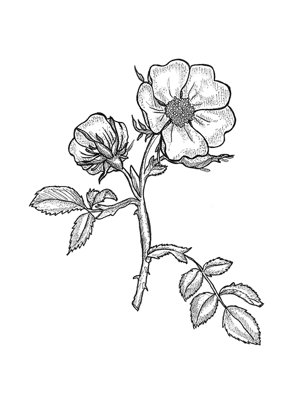 rose leaf drawing at getdrawings com free for personal use rose