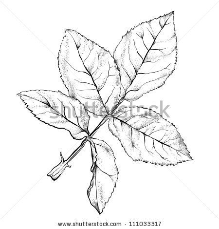 450x470 Highly Detailed Hand Drawn Rose's Leaves. Tit For Tats