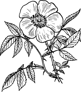 264x298 Eglantine Rose Clip Art