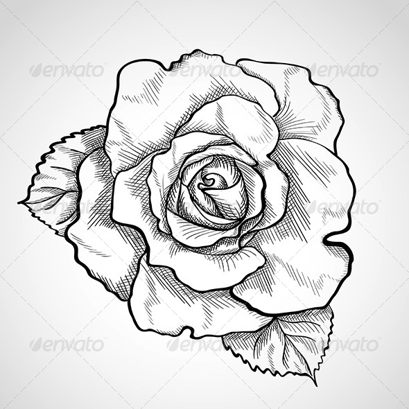 590x590 Sketch Rose With Leaves By Wertaw Graphicriver