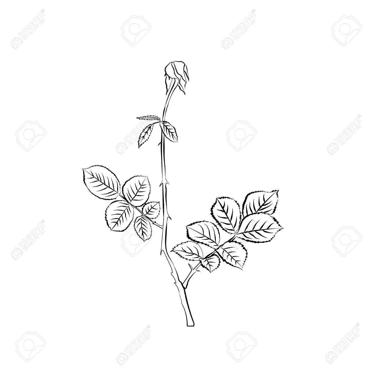 1300x1300 Stem And Leaves Of Withering Rose. Sketch. Black Outline On White