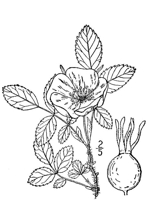 600x900 Alberta Wild Rose