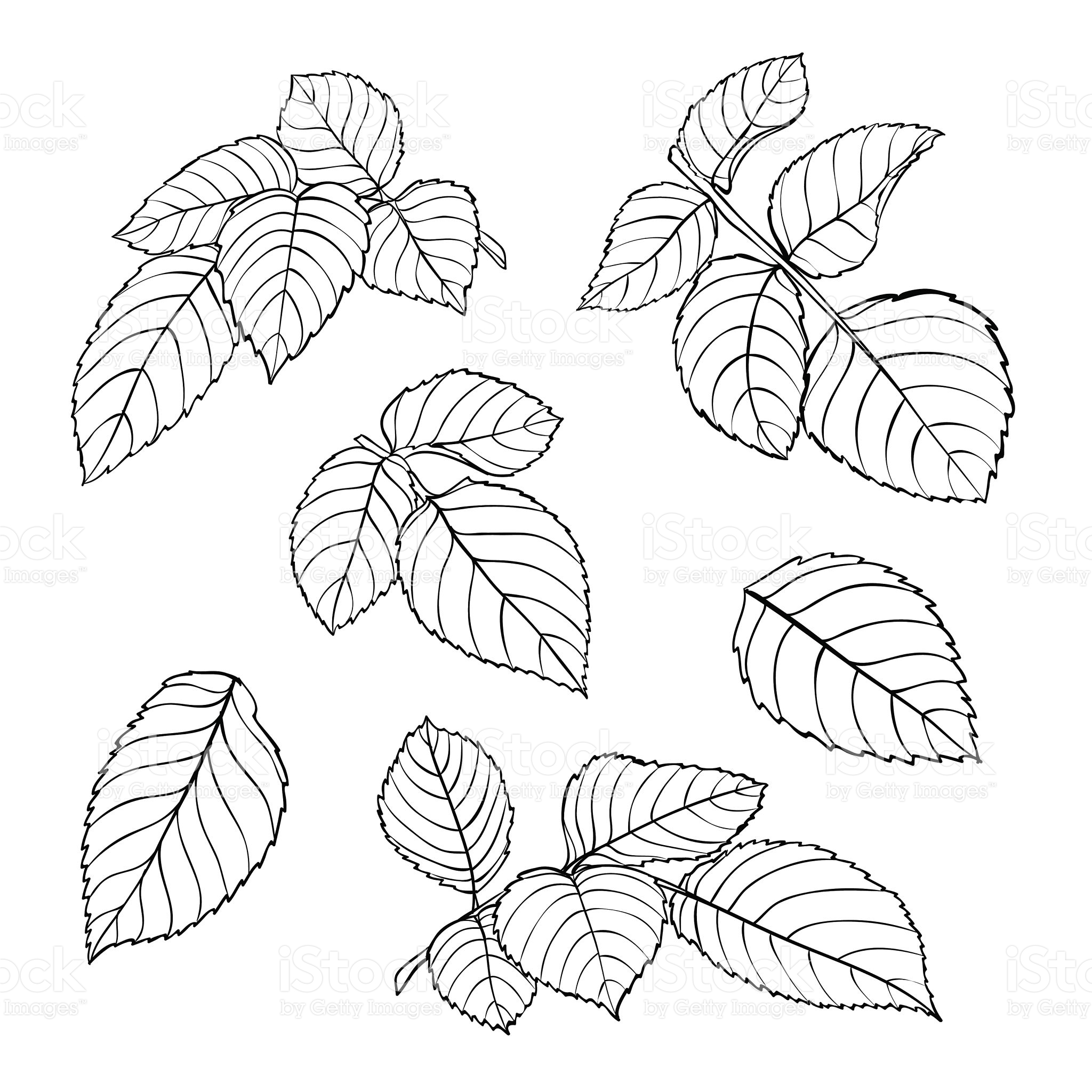 2048x2048 Set Of Beautiful Black And White Rose Leaves Isolated On White