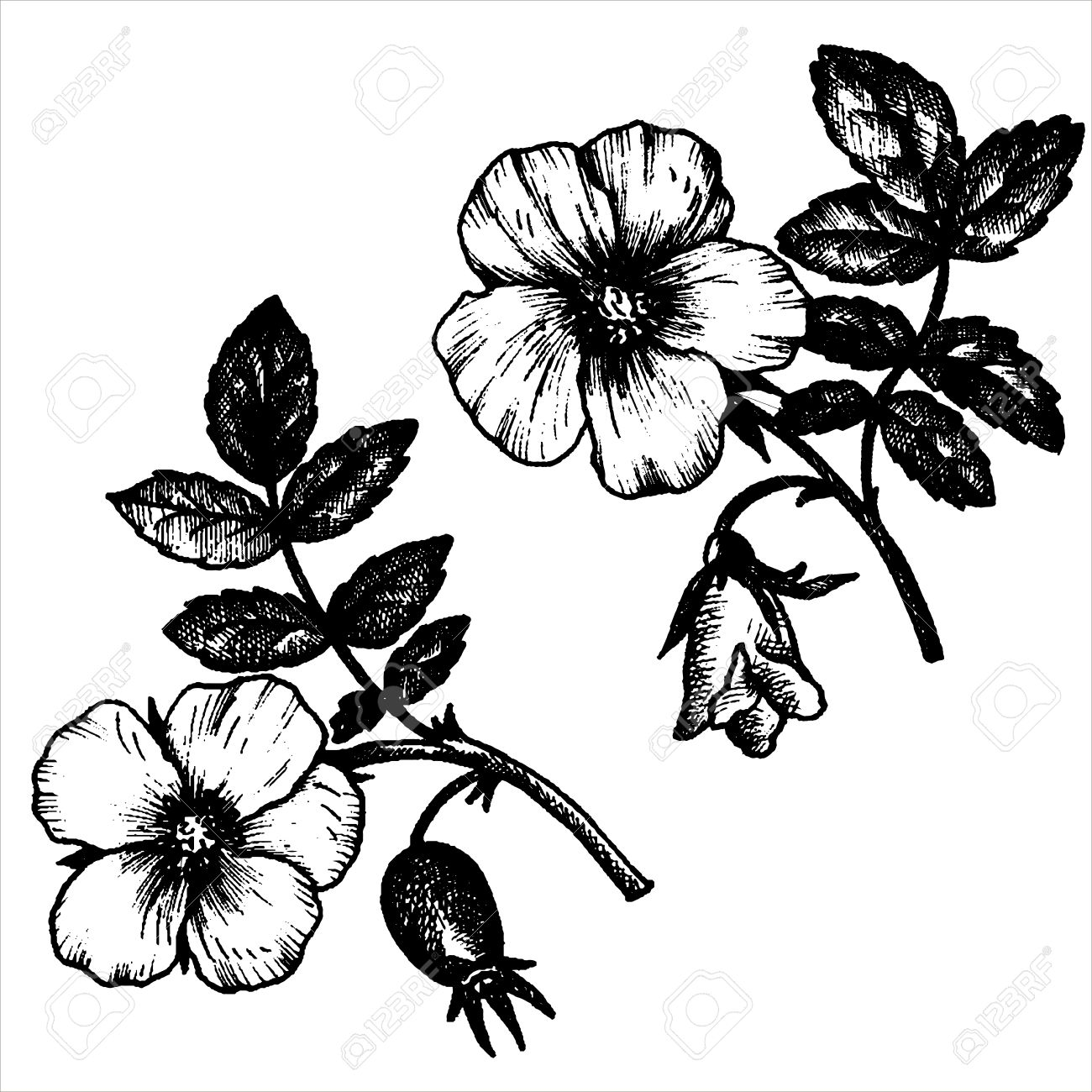 1300x1300 Dog Rose Flowers With Leaves And Buds, Hand Drawn Vintage Vector
