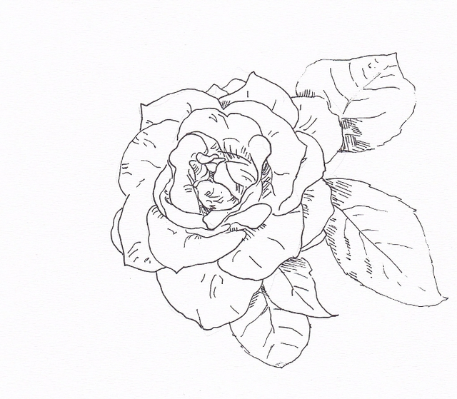 640x559 Draw A Rose With Fiber Tip Pen Flower Sketches, Sketches