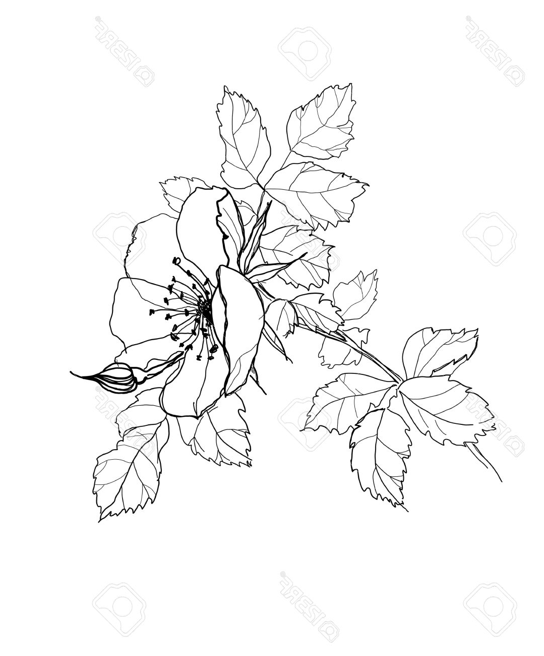 1079x1300 Out Line Pencil Sketch Of Rose Flower Rose Picture Drawing Rose