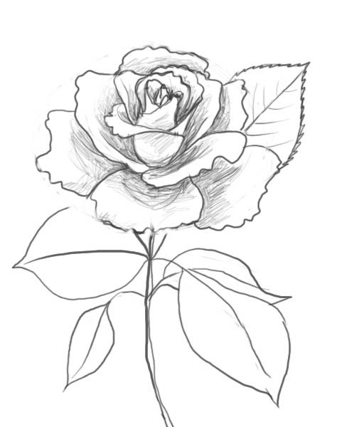 488x600 How To Draw Beautiful Roses How To Draw A Rose