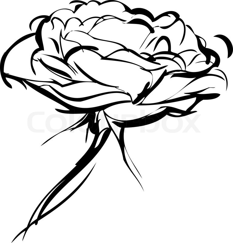 768x800 Sketch Of Rose On A White Background Stock Vector Colourbox