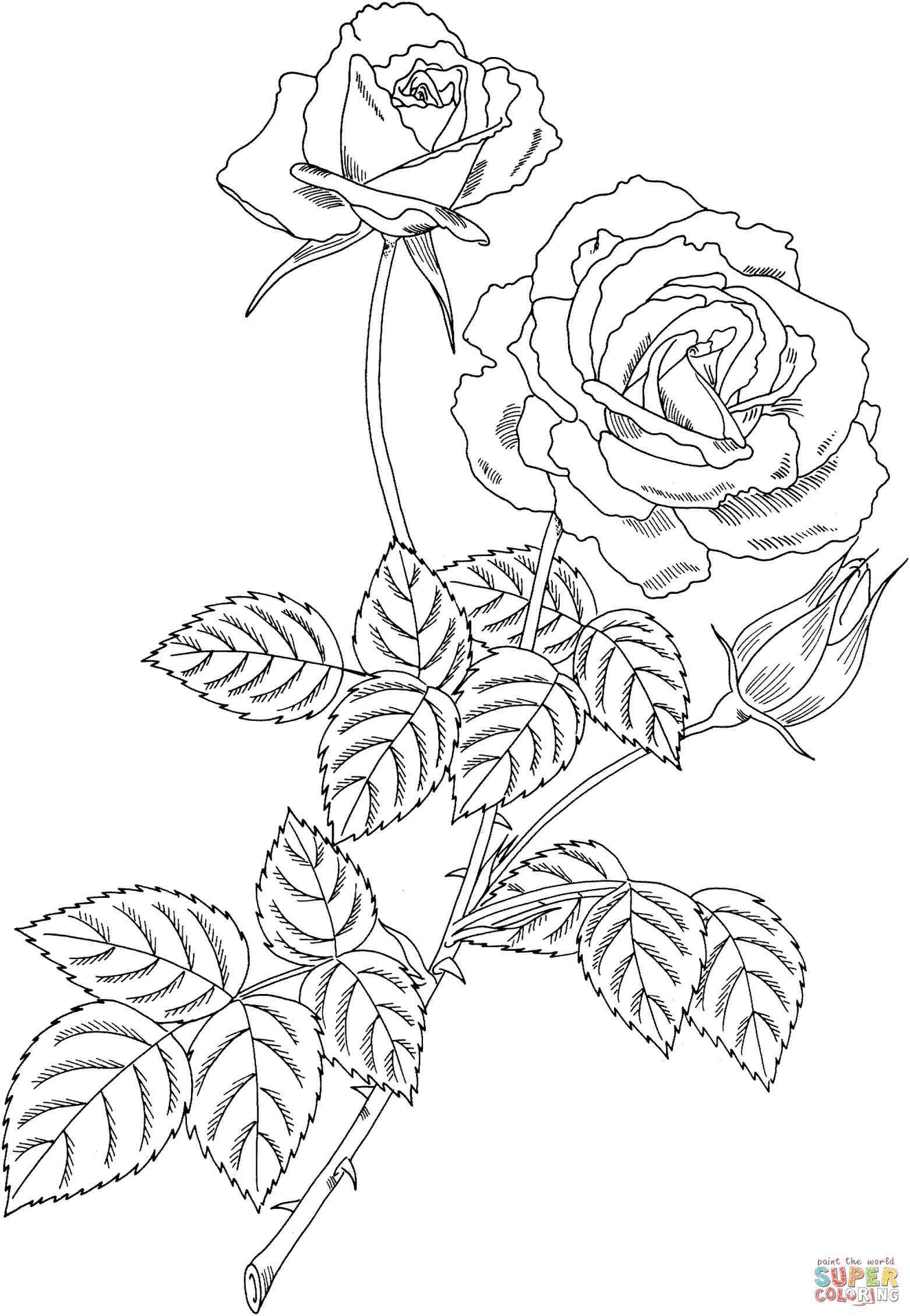 1562x2260 Simple Rose Bush Drawing