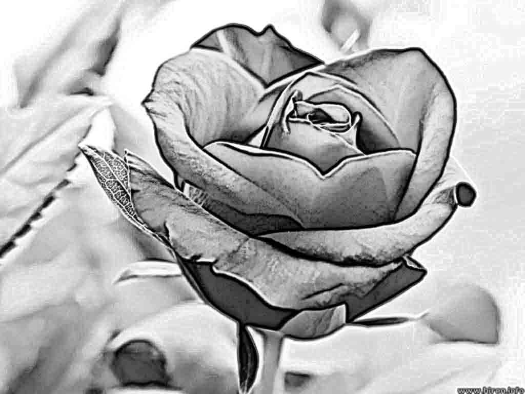 1024x768 Draw Of Rose For Pencil Roses Pencil Drawing How To Draw A Rose